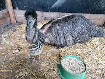 Emu Hahn Emu Hähne