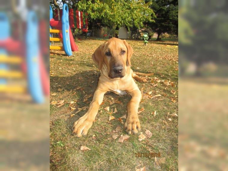 Deckrude Broholmer Kein Verkauf Kleinniedesheim Sonstige Hunderassen Deckrude Deine Tierwelt De