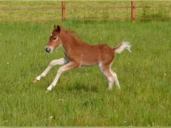 AMHR MIniature Horse