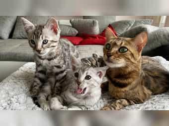 Bengal Kitten für Liebhaber oder