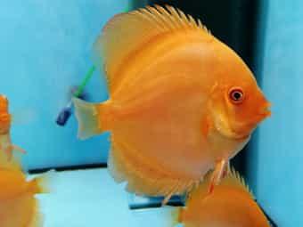 Junge Rote Diskusfische 6-6 5cm