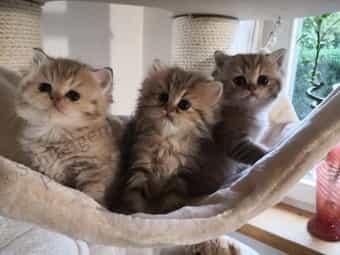 Reinrassige Perser Exotic Shorthair Babies