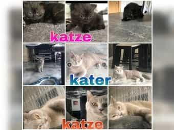 Bkh Katze Kater Kätzchen kitten