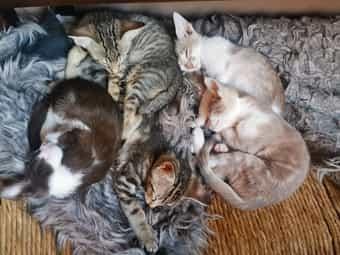 Orientalisch Kurzhaar mix kätzchen