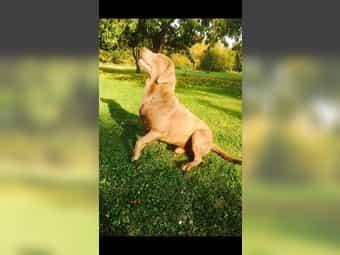 Labrador Welpe Aus Hamburg Bei Deinetierwelt