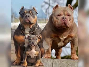 American Bulldog Welpen Im Tiermarkt Von Deinetierwelt