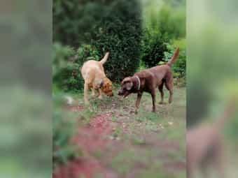 Labrador Weibchen Kleinanzeigen Kaufen Verkaufen Bei