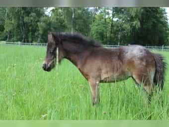 Shetty Shetland Pony dt Partbred