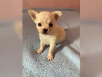 Chihuahua Hause Kleinanzeigen Kaufen Verkaufen Bei