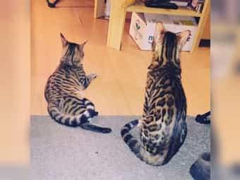 Wurfankündigung Bengal Mix Kitten 08
