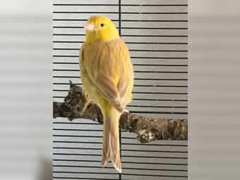 Kanarienvögel Hennen Gloster Isabell Satinet