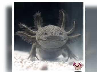Axolotl Jungtiere Goldalbino Melanoid