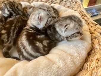 Edle Britisch Kurzhaar Kitten in