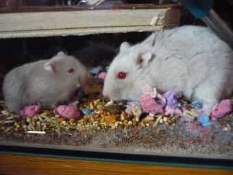 Zahme Campbell Zwerg-Hamster Babys