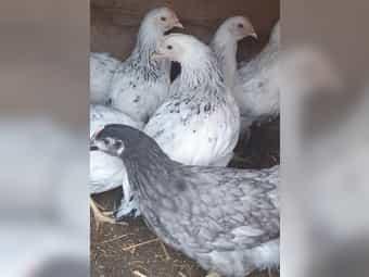 Wyandotten schwarz weiß columbia grau