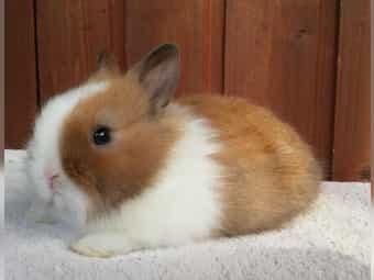 Farbenzwerg Rex Kleinanzeigen Kaninchen Hasen Kaufen Verkaufen Bei Deinetierwelt