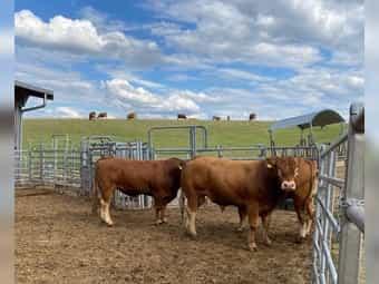 Limousin Bullen gekört PP und
