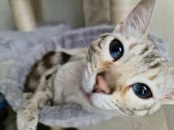 Bengal Savannah Luxus Kätzchen in