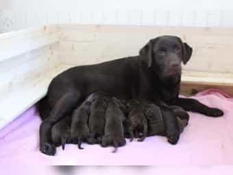 Chocolate Labrador Kleinanzeigen Kaufen Verkaufen Bei