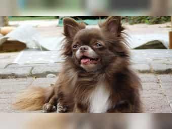 Chihuahua Choco Kleinanzeigen Kaufen Verkaufen Bei Deinetierwelt