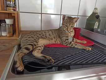 Savannah G5 F5 SBT Kitten -