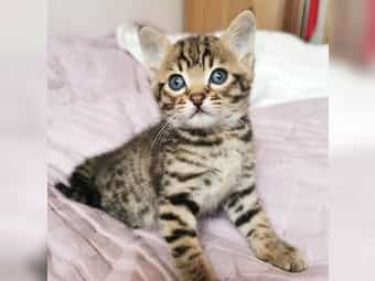 Savannahkatze f5 kitten reinrassig mit