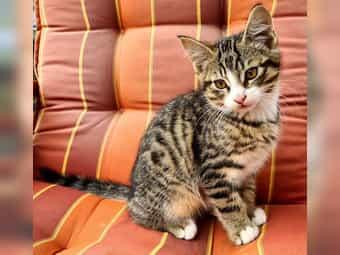 Tricolor Norwegische Waldkatzen Kitten Kittys