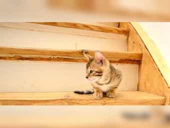 Noch 3 Reinrassige Bengal Kitten