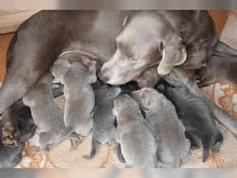 Labrador Silber Kleinanzeigen Kaufen Verkaufen Bei