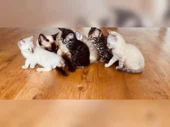 Katzenmarkt Katzen Inserieren Kaufen Oder Verkaufen Deinetierwelt