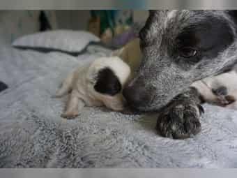 Australian Cattle Dog Im Tiermarkt Von Deinetierwelt
