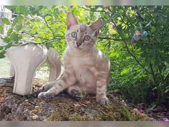 Bengalkatzen In Not Wie Sie Eine Katze Retten Konnen