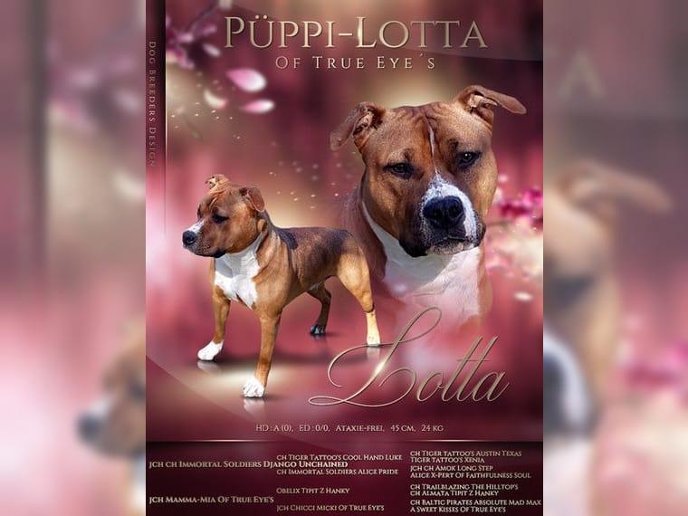 American Staffordshire Terrier Welpen Vdh Fci Seit 1997 Holzminden Staffordshire Terrier Deine Tierwelt De