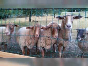 Lammböcke Coburger Fuchsschafe