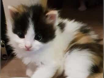 Kitten Siam-Glücksmix