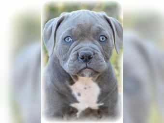 American Bulldog Kleinanzeigen Kaufen Verkaufen Bei Deinetierwelt