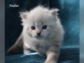 Niedliche Sibirische Katzen Kaufen Im Tiermarkt Von Deinetierwelt