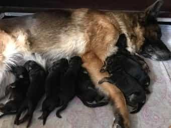 Deutscher Schaferhund Welpen Im Tiermarkt Von Deinetierwelt