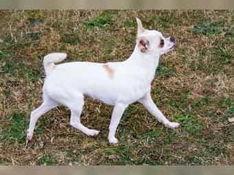 Chihuahua Zucht Kleinanzeigen Kaufen Verkaufen Bei Deinetierwelt