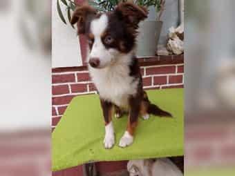 Toy Australian Shepherd Kleinanzeigen Kaufen Verkaufen Bei Deinetierwelt