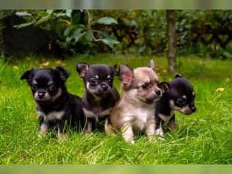 Chihuahua Vdh Kleinanzeigen Kaufen Verkaufen Bei Deinetierwelt