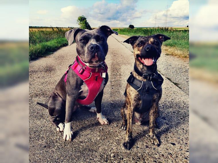 American Staffordshire Terrier Welpen Wurf Vom 04 08 2020 Stand Anzeige 01 09 2020 Helmstedt Mischlings Welpen Bis 30cm Ausgew Deine Tierwelt De