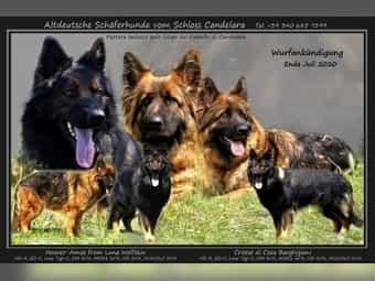 Altdeutscher Schaferhund Welpen Im Tiermarkt Von Deinetierwelt