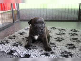 Staffordshire Terrier Kleinanzeigen Kaufen Verkaufen Bei Deinetierwelt