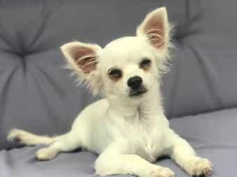 Monate Chihuahua Kleinanzeigen Kaufen Verkaufen Bei Deinetierwelt
