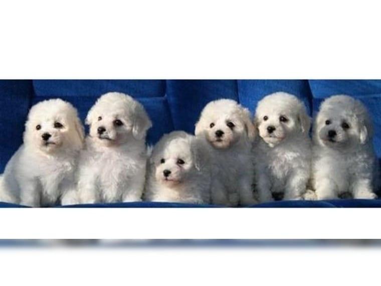 Malteser Hunde Kleinanzeigen Kaufen Verkaufen Bei Deinetierwelt