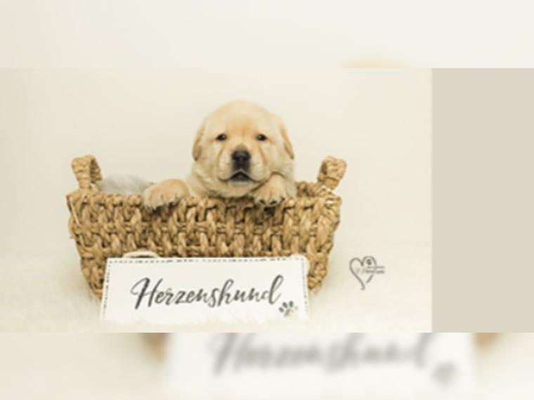 Labrador In Aachen Hunde Kaufen Verkaufen Auf Quoka De