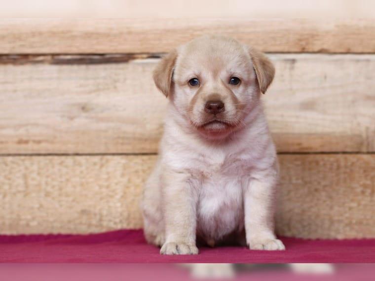 Leopard Labrador Dog Welpen Aussiedor Hofheim In Unterfranken Labrador Deine Tierwelt De