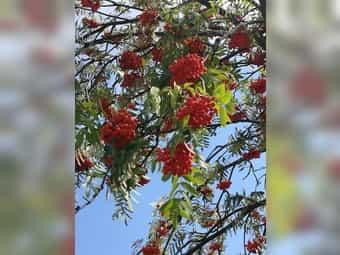 Gebe frische Ebereschen Beeren Vogelbeere
