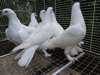 Bakina Hochflieger Tauben ab 15 -